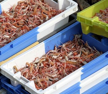 Les pêcheurs bretons cherchent à améliorer les conditions de transport de la langoustine
